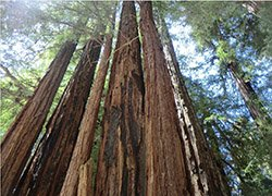 nearby excursion - redwood forests